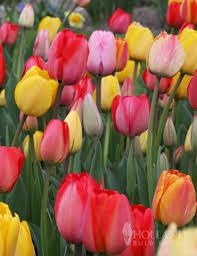 mixed triumph tulip value bag 50 bulbs 88252