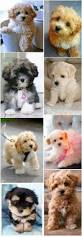 Best Non Shedding Small Dogs by The 25 Best Cutest Small Dogs Ideas On Pinterest Cute Small