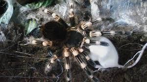 Do Tarantulas Shed Their Legs by Huge Brutal Monster Tarantula Vs Big Mouse Digestion