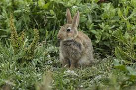 can i use pine river bedding as wood shavings for rabbits pine