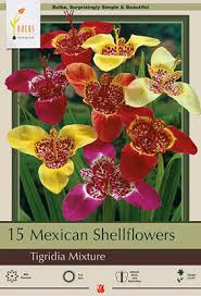 mexican shellflower tigridia pavonia mixture from netherland bulb