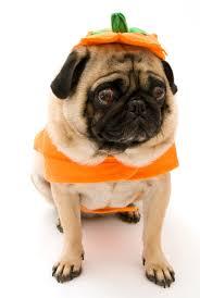 Pumpkin Causes Dog Diarrhea by Happy Halloween From Pet Poison Helpline