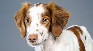 Springer Spaniel Shed Hunting by Brittany Dog Breed Information American Kennel Club