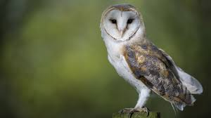 Barn Owl Surveys | Contract Ecology Ltd | England And Wales Barn Owl Facts About Owls The Rspb Bto Bird Ring Demog Blog October 2014 Chouette Effraie Lechuza Bonita Sbastien Peguillou Owl Free Image Peakpx Wikipedia Barn One Wallpaper Online Galapagos Quasarex Expeditions Hungry Project Home Facebook Free Images Nature White Night Animal Wildlife Wild Hearing Phomenal Of Nocturnal Wildlife Animal Images Imaiges