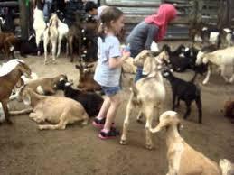 Grants Farm St Louis Halloween by Brooke Feeding Goats At Grant U0027s Farm St Louis Mo Youtube