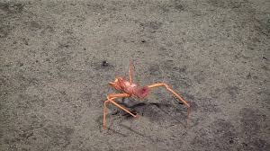 Do Hermit Crabs Shed Their Legs by Pagurid Hermit Crab 2016 Deepwater Exploration Of The Marianas