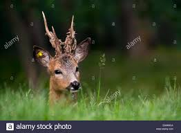 Whitetail Deer Shedding Velvet by Ear Tagged European Roe Deer Capreolus Capreolus Male With