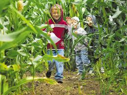 Meadowbrook Pumpkin Farm Creepy Cornfield by Chazy Corn Maze Brings An Afternoon Of Adventure Local News