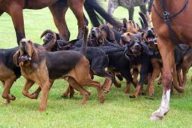 Dogs That Shed The Most Least by Bloodhound Dog Breed Information Pictures Characteristics