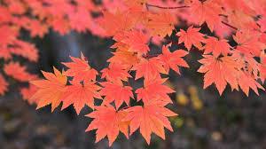 Types Of Christmas Tree Leaves by Trees San Diego Zoo Animals U0026 Plants