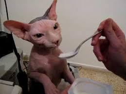 cats and yogurt our cat skin the sphynx is yogurt