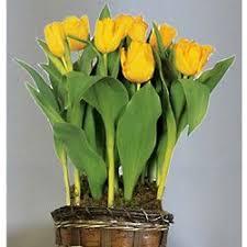yellow tulip flower bulb gift basket findgift