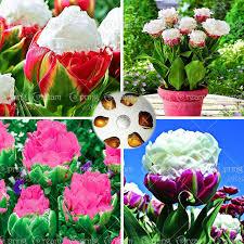 aliexpress buy true tulip bulbs tulip barbados not
