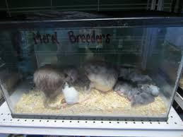 caring for pet rats lauren s vet med blog