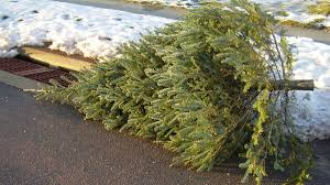 Nordmann Fir Christmas Tree Smell by Procrastinators Rejoice Now You Can Cook With That Old Christmas