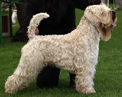 Do Wheaten Terrier Dogs Shed by 8 Best Hypoallergenic Dog Breeds Canadian Living