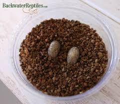 Do Baby Leopard Geckos Shed by How To Breed Leopard Geckos