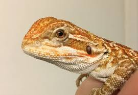Bearded Dragon Shedding A Lot by Baby Bearded Dragon Not Eating But Has Energy U2022 Bearded Dragon Org