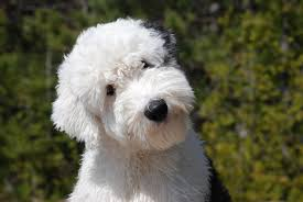 Small Non Shedding Dogs For Seniors by Old English Sheepdog