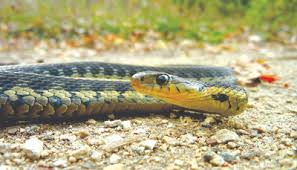 Seen And More Often Than Not The Answer Will Be A Garden Or Gardener Snake Most Likely They Are Referring To One Of Species Gartersnake
