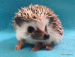 for sale riddle s hedgehogs hedgehog breeder in northern virginia