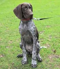German Wirehaired Pointer Shedding by Dog Breeds List G The World U0027s Canine Breeds Beginning With The