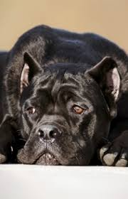 My Cane Corso Shedding A Lot by Cane Corso Dog Breed Information Pictures Characteristics U0026 Facts