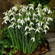 buy flowering snowdrops j parkers bulbs