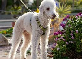 Non Shedding Hypoallergenic Dogs by 10 Hypoallergenic Dog Breeds That Don U0027t Shed Purewow