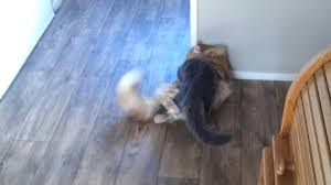 forest cat vs maine coon forest cat versus mainecoon