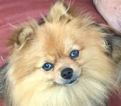 Do Bichon Pomeranians Shed by Why Does My Pomeranian Stink Smell Have Bad Odor