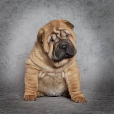 Do Mini Shar Peis Shed by Amazing Information About The Shar Pei Pit Bull Mix Breed