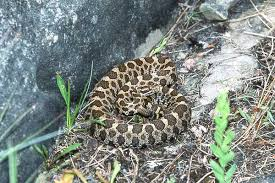 photo galleries pigmy rattlesnake research group stetson