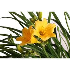 shop monrovia 1 gallon stella d ft oro daylily at lowes