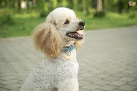 Dogs That Shed Minimally by All About The Noble Poodle Pets4homes