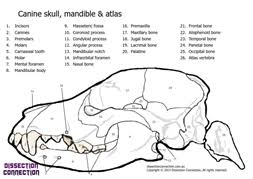 Canine Skull Anatomical Colour Unique Saunders Veterinary Anatomy Coloring Book