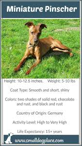 Quiet Small Non Shedding Dog Breeds by Miniature Pinscher Small Dog Place