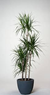 drachenbaum marginata dracaena marginata bicolor günstig