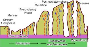 Shedding Of The Uterine Lining Is Called by Histology Guide Female