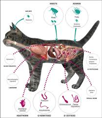 fleas on cats symptoms fleas ticks worms the cat vet