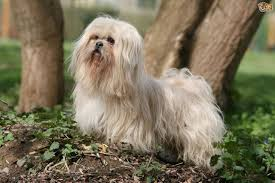 Shih Tzu Lhasa Apso Shedding by Lhasa Apso Dog Breed Information Buying Advice Photos And Facts