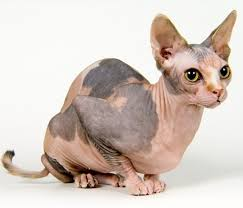 The Sphynx Cat Cat Breeds Encyclopedia No Shed Cats Tridanim