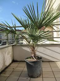 chamaerops excelsa entretien avis forums plantes exotiques