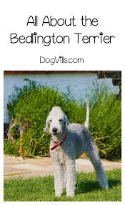 List Of Non Shedding Hypoallergenic Dogs by Is The Bedlington Terrier A Hypoallergenic Dog Breed