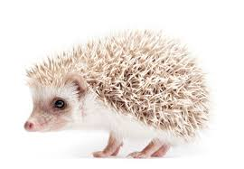 the african pygmy hedgehog pets4homes
