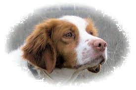 Do Brittany Spaniels Shed Hair by Brittany Dog U0026 Puppy Faq U0027s Free Info About Brittanys