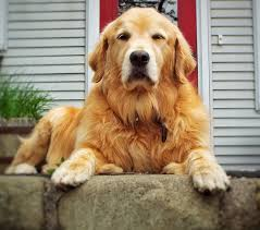 My Dog Stinks And Sheds A Lot by Golden Retriever Shedding How Much And How To Get Control