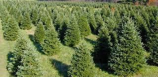 Frasier Christmas Tree Cutting by Christmas Trees U2014 Indiana County Tourist Bureau