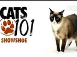 snowshoe cat cats 101 snowshoe