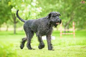 Do Giant Schnauzer Dogs Shed Hair by Giant Schnauzer Hereditary Health And Longevity Pets4homes